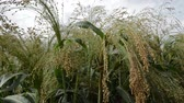 Cultivated millet in the wind, sky in the background,  close up Stockvideo