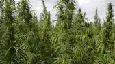A Field of CannabisMarijuana plant on the wind