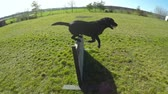 The Dog That jumps over an obstacle. Stock Footage