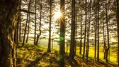 лес : 4K Time Lapse Sun in pine forest Стоковые видеозаписи