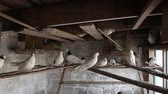 domestic pigeons in the dovecote on vacation sitting