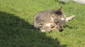 Beautiful domestic cat washing her fur, lick and relax in green grass in summer day