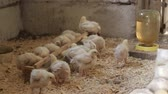 Chicken eggs and chickens eating food in farm