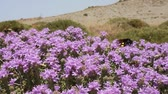 picar : Buzzing Bees, wasps and hornets on thyme flowers