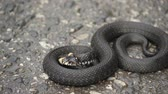 ваш : Black natrix. Grass snake curled up on the pavement