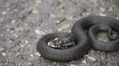 suíça : Black natrix. Grass snake curled up on the pavement