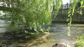 salgueiro : Branches of a willow reaching out for a river Stock Footage