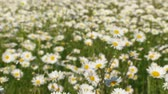 blossoming : Panning shot of a beautiful field covered with white blossoming chamomiles. From defocus to focus. The light wind makes flowers moving.