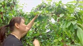 Woman harvesting cherry from tree. Slow motion.