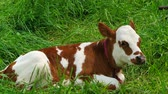 организованный : A cow lies in the green grass and eats