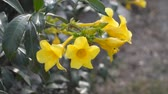 Yellow allamanda flower in garden