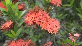 red Ixora coccinea flower in nature garden