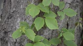 green ivy leaves on dry bark tree Stock Footage