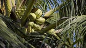 coconut tree in nature garden Stok Video