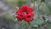 red damask rose flower in nature garden