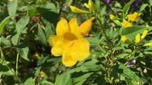 yellow Tecoma stans flower in nature garden