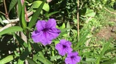 purple ruellia tuberosa flower in nature garden Стоковые видеозаписи