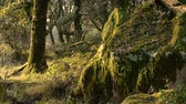 легенда : With morning fog in forest moss on the rocks and trees