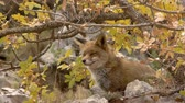 omnivore : Red fox sitting under a deciduous tree in autumn