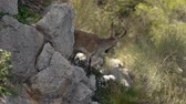 male animal : young male Iberian ibex peering between rocks and bushes