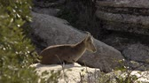 male animal : Iberian ibex lying on a rock basking in the morning Stock Footage