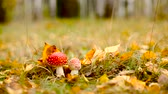 Poisonous amanita muscaria mushrooms in autumnal forest undergrowth dolly shot Stock Footage