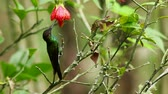 Hummingbird, violet-fronted brilliant feeds on red flower. Vídeos