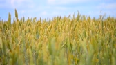 Wheatfield summer, autumn on a sunny day and the wind blows Stok Video