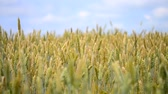 anténa : beautiful picture of ripe wheat, which is reeling in the wind close-up with shallow depth of field, beautiful illuminated by sunlight against a blue sky