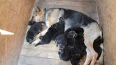progeny : Shepherd and her ten black puppies in a wooden booth