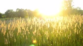 метелка : young woman running on the field with a high dry grass with the sun shining during sunset, sunrise