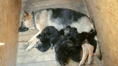 oneself : Many German Shepherd puppies are a handful of about moms and fall asleep, view from above