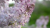 flowering bulbs : purple lilac flowers is very close Stock Footage