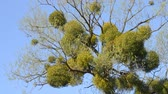 веточка : A sick tree. Mistletoe on the branches of a tree. Medicinal plant. Стоковые видеозаписи