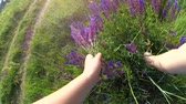 nature close up : Girl tearing violet flowers on a close-up field