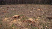 nu : Deforestation disboscation. Naked piece of land in the forest after cutting down trees pines. Vídeos