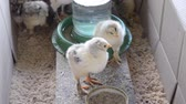 weterynaria : Two small chicken in a cage top view close-up. Livestock animal husbandry, animal breeding stock raising