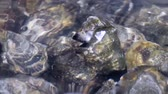 guloseima : Oyster in water. Group of several fresh oysters in clear water. Oysters in store before cooking.