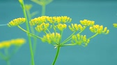 dill : Inflorescence of a yellow flower dill against a blue background close-up