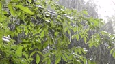 aveleira : Heavy rain shower downpour cloudburst rainfall comes in daytime. Rain drops dripping on big green leaves and fetus of the tree Walnut close-up. Background concept rainy driving pouring rain with sound