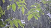 damlacık : Heavy rain shower downpour cloudburst rainfall comes in the daytime. Rain drops dripping on the big green leaves of the tree Walnut close-up. Background concept rainy driving pouring rain with sound Stok Video