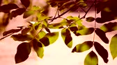 big leaf : Big green leaves of tree of walnut close-up. Green red color. Stock Footage