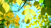 brožura : Yellow leaf on branch on background of blurred yellow leaves and blue sky close-up autumn day. Autumn Leaves swinging on tree. Beautiful autumn natural backdrop. Sunny warm autumn concept. Dostupné videozáznamy