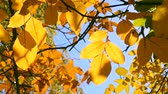 листовка : Sun shines through yellow leaves in autumn close-up. Yellow leaf on branch on background of blurred yellow leaves and blue sky close-up. Autumn Leaves swinging on tree. Sunny warm autumn concept.