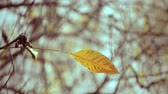 листовка : Yellow leaf on branch on background of blurred yellow leaves and blue sky close-up autumn day. Autumn Leaves swinging on tree. Beautiful autumn natural backdrop. Sunny warm autumn concept. Стоковые видеозаписи
