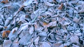 jinovatka : Lot of old dried withered leaves covered with white frost lies on the ground frosty cold day. Winter nature scene. Autumn and winte background.