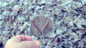 jinovatka : Person holding dried leaf covered with frost on background of lot of old dried withered leaves covered with white frost lies on ground frosty cold day. Winter nature scene. Autumn and winte background