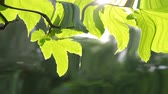 сюрреализм : beautiful green leaf on the branch of a tree with the sun backlighting, HD 1080. Reflection in water, underwater water ripples surrealism abstract waves