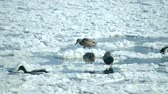 кряква : Ducks swim on the surface of the water in the winter among snow and ice