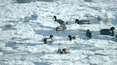 pântano : Ducks swim on the surface of the water in the winter among snow and ice